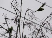 perruches 07-02-2010.jpg
